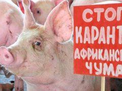 Африканская чума свиней в соседних областях