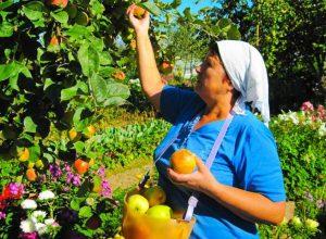 Созрели вишни в саду у дяди Вани или битва за урожай