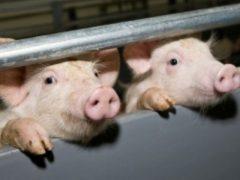 В дыму погибли 652 свиньи: последствия пожара на свинокомплексе «Уральский»