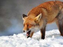 Жителя Талицкого района покусала бешеная лисица